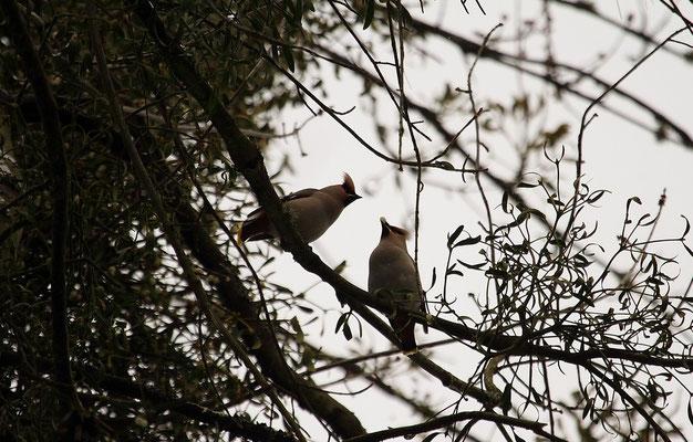 Samedi  23 février 2013 - Jaseurs boréaux à Epinal. (migrateurs)
