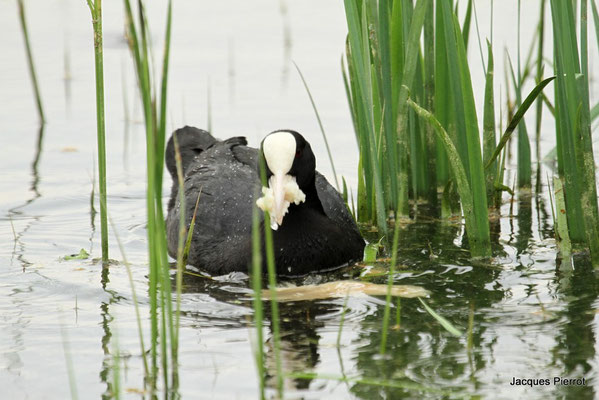 Le 29/04/2011  Foulque macroul à l'étang de Bouzey ( Vosges )