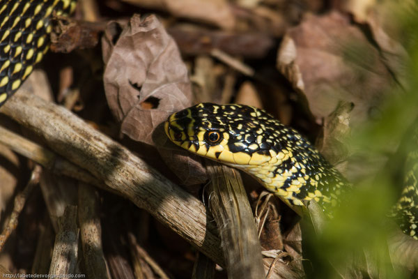 Samedi  17 mai 2014 Couleuvre verte et jaune dans les Vosges 88.