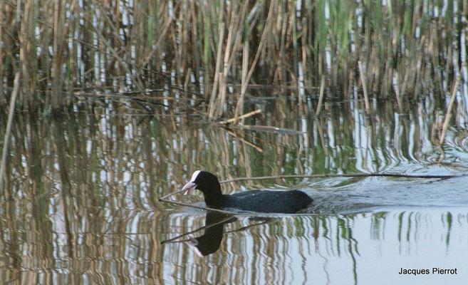 Foulque construisant son nid au lac du Der.