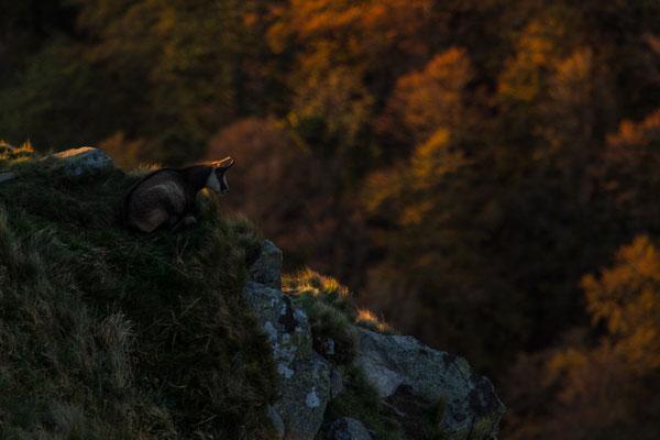 Le 18 aout 2014 Chamois au Hohneck (Hautes Vosges 88)