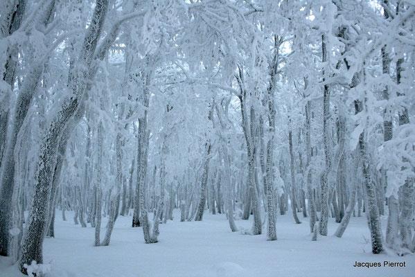 Le 15/01/2012  Les arbres couvert de neige  ( Hautes Vosges )