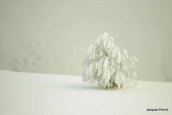 Le 04/12/2010  Arbre couvert de neige.  ( Hautes Vosges )