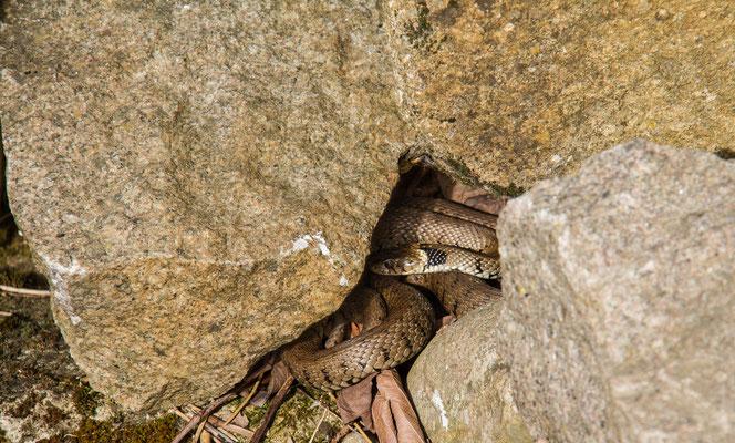 Lundi 11mai 2015 Couleuvre à collier (Vosges 88)