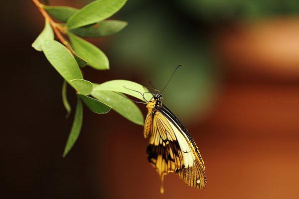 Samedi 29 juin 2013 Papillons Hunawihr Alsace 68  Objectif Canon 100 macro f 2.8 L IS USM