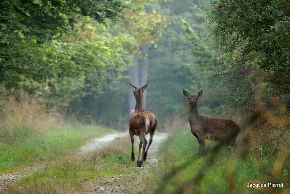 Le 26 / 09 / 2009 Deux biches sortent de la forêt.  ( Vosges )