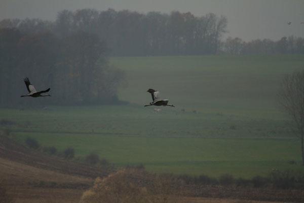Le 29 novembre 2014 Vol de grues cendrées au lac du Der