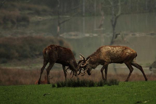 Le 05/10/2013  Combat de cerfs.  (Parc de Saint Croix Moselle)