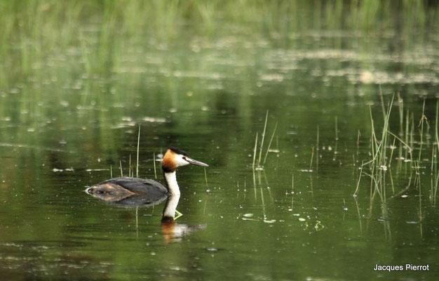 Le 28 avril 2011  Grèbe huppé sur l'étang de Bouzey  ( Vosges )
