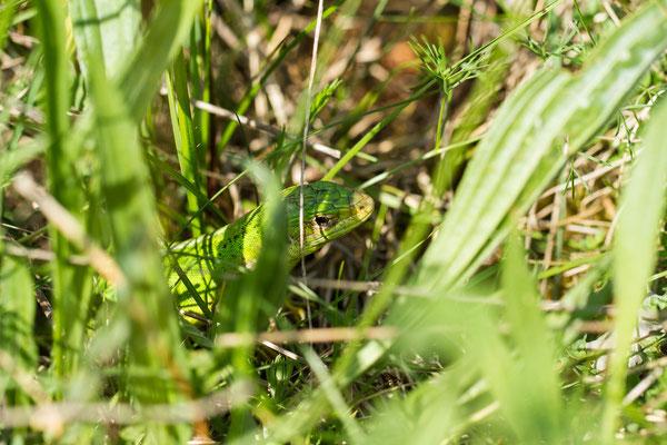 Le 13/05/2015 Lézard vert femelle (Alsace Haut-Rhin 68)
