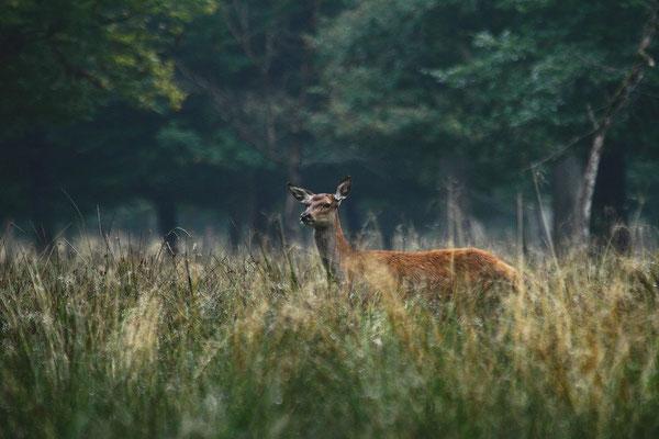 Le 22 / 09 / 2012   Biche en sous bois.  (Parc de Saint Croix Moselle)