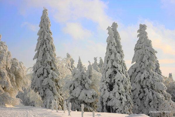 Sapins sous la neige. ( Auberge des trois fours Hautes Vosges )