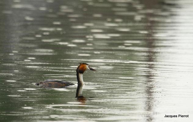 Le 28/04/2011  Grèbe huppé sur l'étang de Bouzey  ( Vosges )