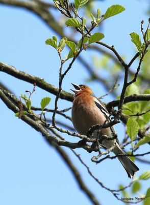 Vendredi 18 mai 2012  Pinson des arbres à Bouzey (Vosges)