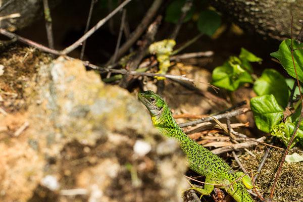 Mercredi 13 mai 2015 Lézard vert femelle (Alsace Haut-Rhin 68)