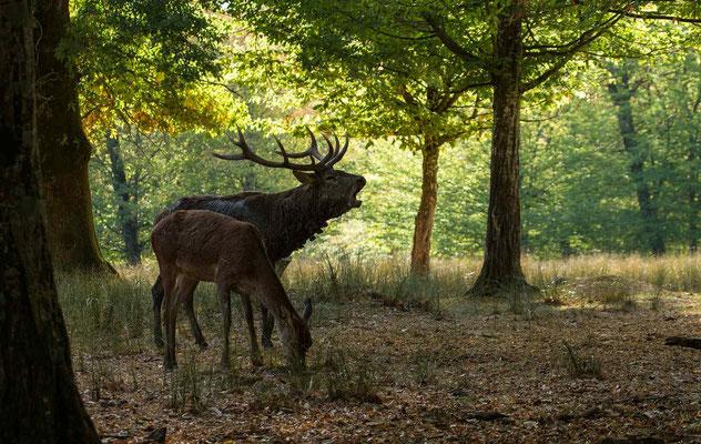 Le 06/10/2018  Cerf  (Parc de Saint Croix Moselle)