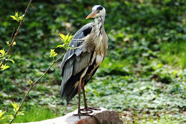 Dimanche 08 avril 2012  Héron cendré zoo de Mulhouse (Alsace Haut Rhin 68)