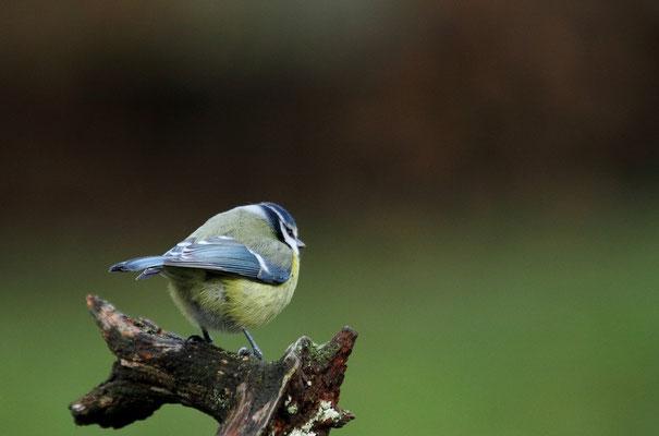 Mercredi  26 décembre 2012 - Mésange bleue Epinal.