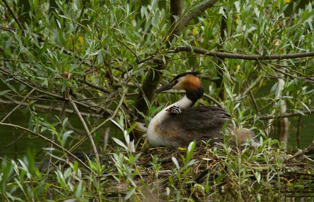 Le 25/06/2016  Grèbe huppé à l'étang de Bouzey (Vosges 88)
