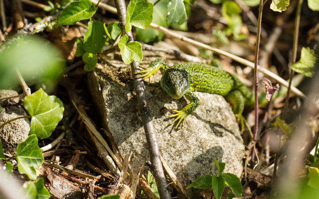 Le 13/05/2015  Lézard vert mâle (Alsace Haut-Rhin 68)