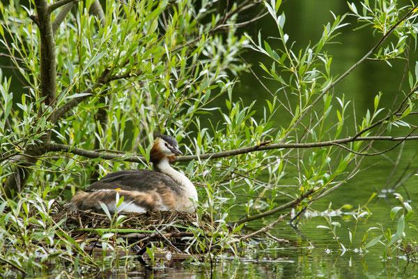 Le 18/06/2016  Grèbe huppé à l'étang de Bouzey (Vosges 88)