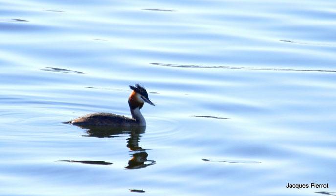 Le 02/04/2011  Grèbe huppé sur l'étang de Bouzey  ( Vosges )