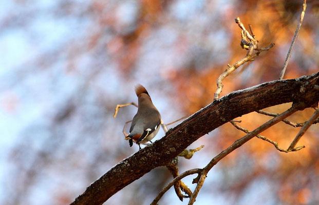 Samedi 2 & Dimanche 3  février 2013 - Jaseurs boréaux à Epinal. (migrateurs)