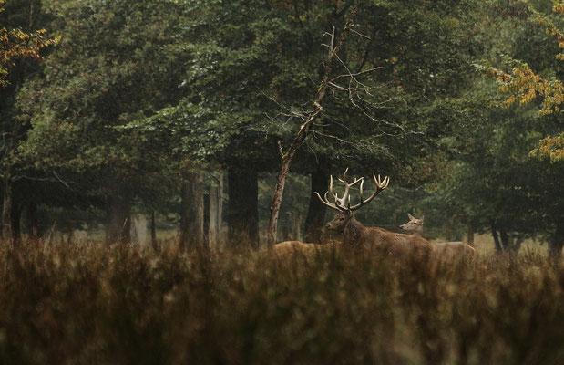 Le 5 / 10 / 2013   Cerf en bordure d'un bois.  (Parc de Saint Croix Moselle)