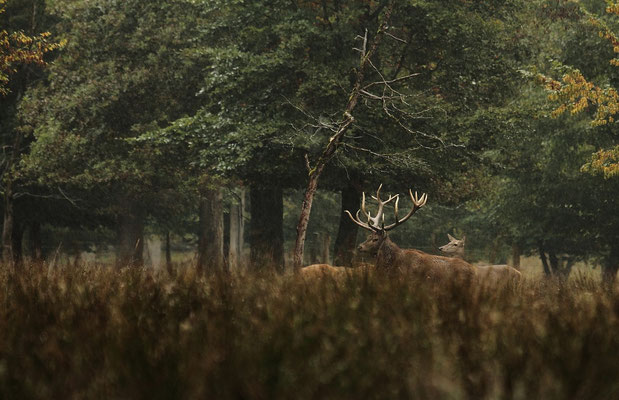 Le 05/10/2013   Cerf en bordure d'un bois.  (Parc de Saint Croix Moselle)