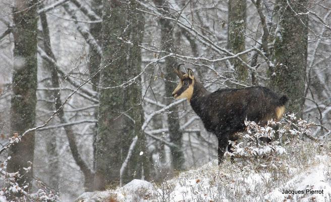 Le chamois en hiver.  ( Hautes Vosges, le Hohneck )
