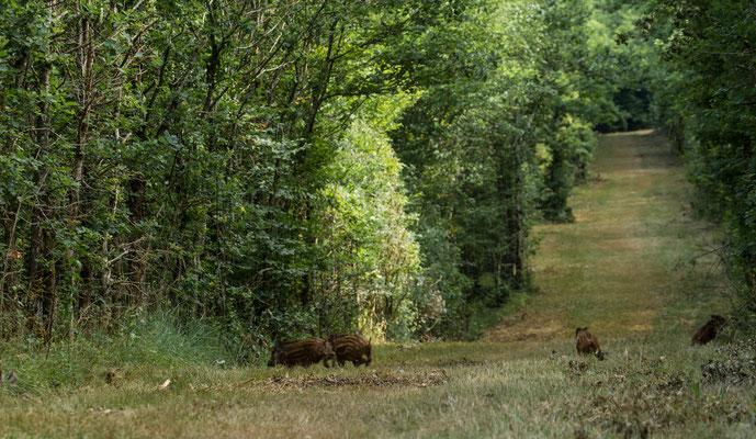 Le 08/08/2015 Marcassins (Vosges 88)