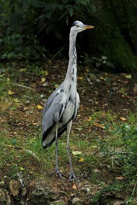 Samedi 25 aout 2012 Héron cendré zoo de Mulhouse (Alsace Haut Rhin 68)
