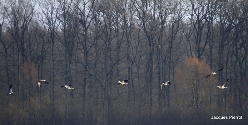 Le 05/11/2011  Grues cendrées (lac du Der)