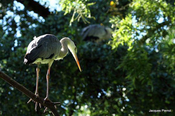 Samedi 10 septembre 2011  Héron cendré zoo de Mulhouse (Alsace Haut Rhin 68)