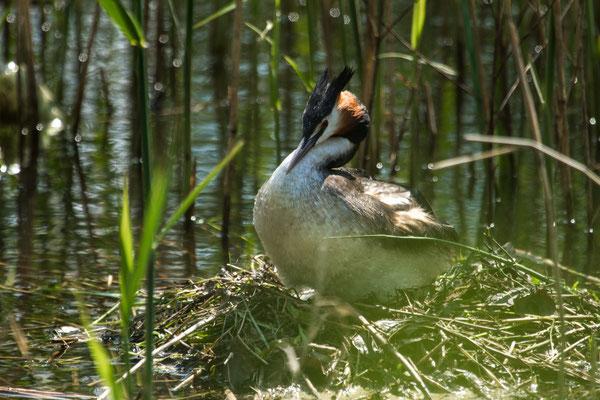 Le 15/05/2018  Grèbe Huppé à l'étang de l' abbaye (Vosges 88)