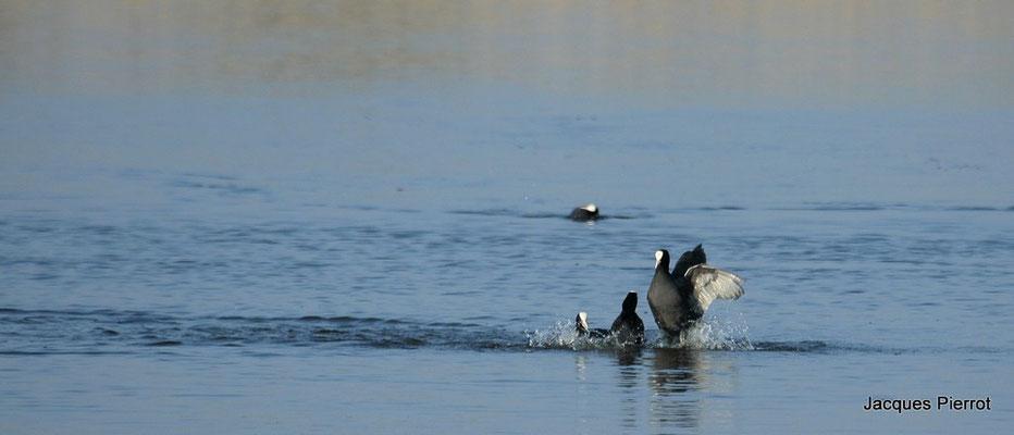 Le 17/04/2010  Foulque macroul.   ( lac du Der )