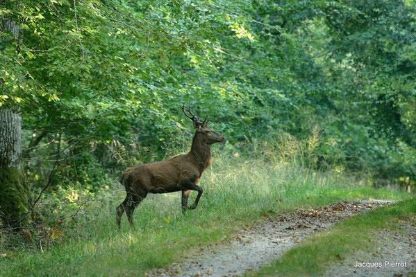 Le 26 / 09 / 2009 Un cerf au bord du chemin.  ( Vosges )