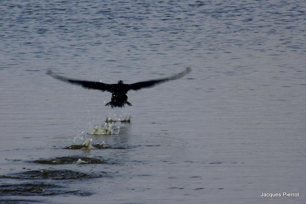 L'envol d'un grand cormoran dans l'étang des landes.