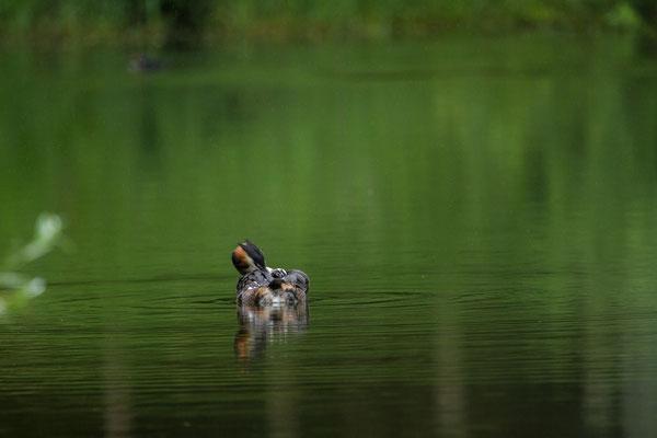 Samedi 25 juin 2016  Grèbe huppé au l'étang de Bouzey (Vosges 88)