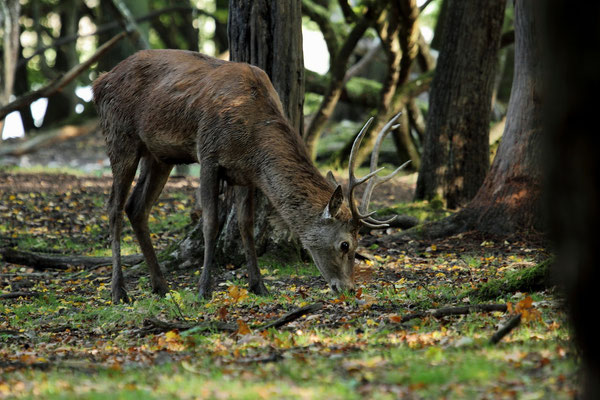 Le 6 / 10 / 2012   Cerf en sous bois  (Parc de Saint Croix Moselle)
