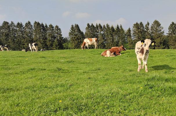 Kälber mit Kühen zusammen auf der Weide