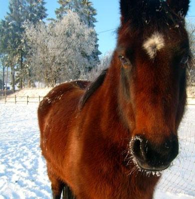 Ponys im Winterfell