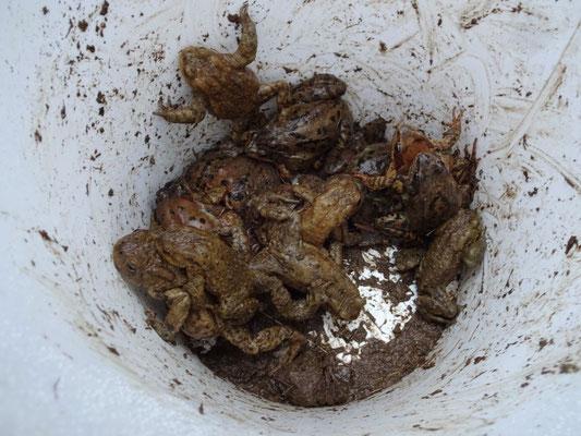 Ein Eimer mit Erdkröten und Grasfröschen