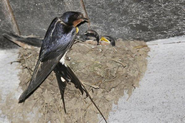 Rauchschwalben-Männchen am Nest (Foto: Ralph Sturm, LBV-Archiv)
