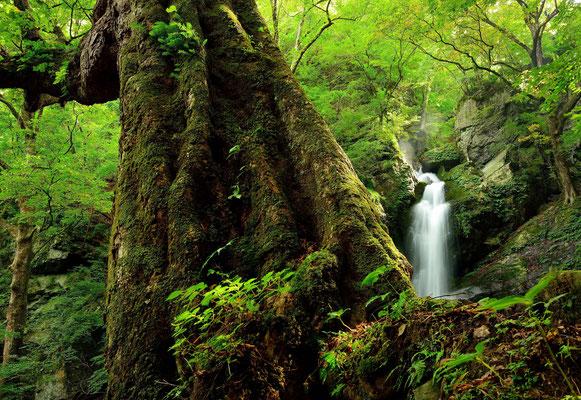 不動滝に添う大樹   2015年埼玉の自然【準特選】    埼玉県秩父市