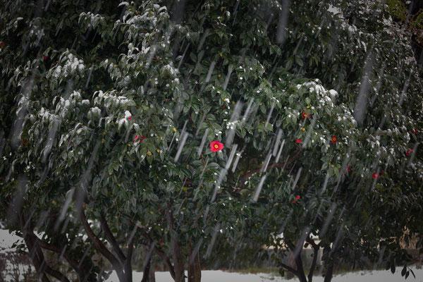早春の雪    第35回埼玉の自然【準特選】