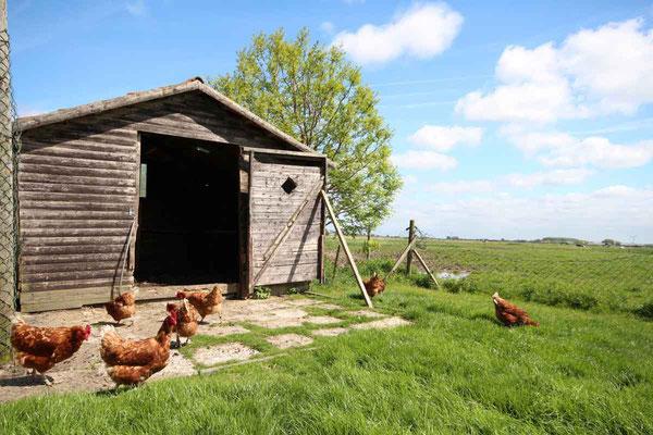 Rund um`s Hofleben auf Oldewurtels Ferienhof - Unsere Hühner