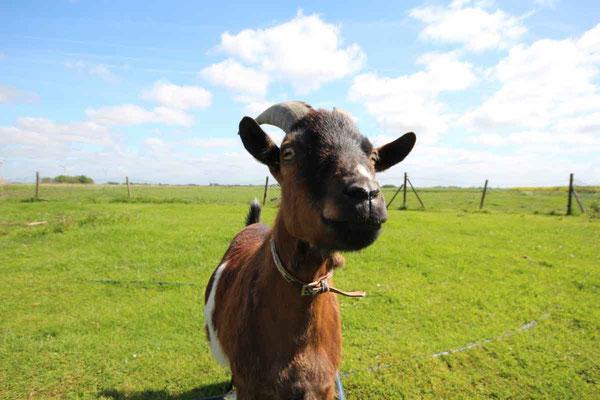 Rund um`s Hofleben auf Oldewurtels Ferienhof - Unsere Ziege