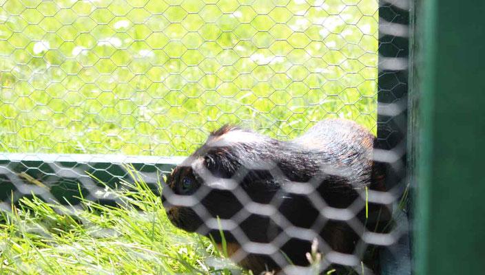 Rund um`s Hofleben auf Oldewurtels Ferienhof - Unsere Meerschweinchen