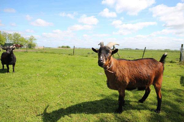 Rund um`s Hofleben auf Oldewurtels Ferienhof - Unsere Ziegen